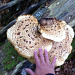 Rekordverdächtige Pilze in der Combe Grède