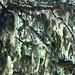 Baum mit Bart