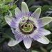 """Passiflora è un genere di Passifloraceae che comprende circa 465 specie di piante erbacee perenni ed annuali, arbusti dal portamento rampicante e lianoso, arbusti e alberelli, alti fino a 5-6 m, originarie dell'America centro-meridionale, con alcune specie provenienti dal Nord America, Australia e Asia.  Il nome del genere, adottato da Linneo nel 1753 e che significa """"fiore della passione"""" (dal latino passio = passione e flos = fiore), gli fu attribuito dai missionari Gesuiti nel 1610, per la somiglianza di alcune parti della pianta con i simboli religiosi della passione di Cristo, i viticci la frusta con cui venne flagellato; i tre stili i chiodi; gli stami il martello; la raggiera corollina la corona di spine."""