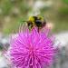 Kleine Hummel oder fette, pelzige Biene? *g*