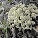 Alpenflora mit Hagelkörnern 1