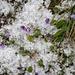 Alpenflora mit Hagelkörnern 2
