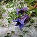 Alpenflora mit Hagelkörnern 3