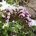 Alpenflora mit Hagelkörnern 4