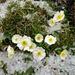 Alpenflora mit Hagelkörnern 5