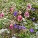 Alpenflora mit Hagelkörnern 6
