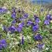 Alpenflora mit Hagelkörnern 7