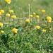Trollblumen bei der Vorderen Sandlingalm