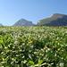 Auf dem Alpboden nördlich der Churfirsten sind die saftigen Blumenwiesen derzeit in voller Blüte
