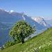 Mehlbeerbaum bei Alp Tatz (Sorbus aria)