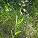 Auch heute ist eib Waldvögelein zu sehen (Cephalanthera longifolia)