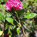 In der Nähe des Seebaches blühen schon die Alpenrosen (Rhododendron ferrugineum)