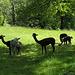 Un gruppo di Alpaca