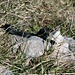schwarze Kreuzotter