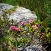 Erste Alpenrosen am Aufstieg zur Cima di Sassello