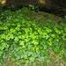 Wechselblättriges Milzkraut (Chrysosplenium alternifolium) - Waldschattenpflanze in feuchten, frischen Bereichen. Der Name stammt daher, dass es früher als Heilkraut gegen Milzkrankheiten verwendet wurde.