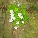 Wald-Sauerklee (Oxalis acetosella) an steinigem Hang