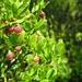 Heidelbeere (Vaccinium myrtillus) auf Waldboden