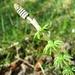 Wald-Schachtelhalm (Equisetum sylvaticum) - anders als der häufigere Acker-Schachtelhalm sprießen die grünen Seitensprosse noch während die Pflanze die Sporenkapsel trägt