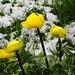 Trollblumen in den Neuschneeresten.