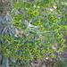 üppiges Wolfsmilchgewächs (Euphorbia) - evtl. Euphorbia amygdaloides = Mandelwolfsmilch