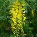 Gemeiner Goldregen (Laburnum anagyroides).