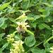 Ackerhummel (Bombus pascorum) auf Necktarsuche bei einer Goldnessel (Lamium galeobdolon).