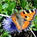 Schmetterling - heute zu hunderten gesehen, aber selten hielten sie still...