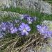Bellissime viole sul sentiero