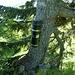 Gipfelbuchbaum
