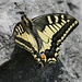 A female swallowtail (Schwalbenschwanz, Papilio machaon)