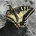 A female swallowtail (Schwalbenschwanz, Papilio machaon)