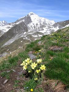 Pulsatilla alpina subsp. apiifolia (Scop) Nyman<br />    Ranunculaceae<br /><br />Pulsatilla sulfurea.<br />Pulsatille soufrée.<br />Schwefel-Anemone.