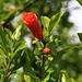 Blüten des Granatapfels (Punica granatum) in Podgorica.