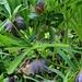 Helleborus torquatus, eine Nieswurzart welche nur auf dem westlichen Balkan vorkommt.