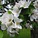 [http://de.wikipedia.org/wiki/%C3%84pfel Apfelbaum Blüten] mit zwei [http://www.bienen.ch/ Bienen]