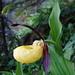 Schöne wildwachsende Orchideenart: Gelber Frauenschuh (Cypripedium calceolus) an einem Ort, den wohl kaum je eine Frau aufgesucht hat... ;-)
