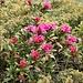 <b>Val Bedretto. Splendida fioritura di rododendri (Rhododendron ferrugineum)</b>.