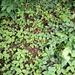Walderdbeeren? Nein, hier handelt es sich um Scheinerdbeeren (Potentilla indica). Die Beeren sind essbar, schmecken aber nach nichts!