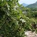 Feigenbaum mit vielen Früchten bei der Brücke über den Rio dei Mulini in Cuzzago.