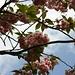 japanischer Kirschbaum, meint jedenfalls eine Anwohnerin