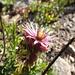 Joubarbe... ma fleur favorite