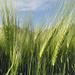 Getreidestudie