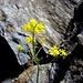 Schweizer Schöterich (Erysimum rhaeticum) Diese Blume fiel mir dann, inmitten von vielen andern, besonders auf