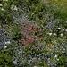 Blumenwiese bei der Druesberghütte