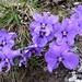 Die Blütenblätter haben schon stark gelitten - Schotter und Frühjahrsschnee auf 2300m