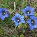 Splendida fioritura di genziane ai Laghetti di Spluga