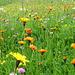 Magerwiesen mit Blumenpracht