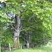Alte [http://de.wikipedia.org/wiki/Rotbuche Rotbuchen] mit Stacheldraht abgesichert.