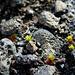 Leben in der Lavawüste II (Foto [U sglider])